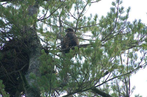 Bald Eagle, eaglet