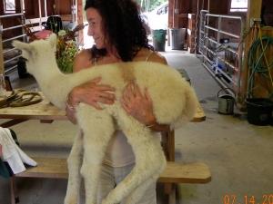 Two-week old Alpaca