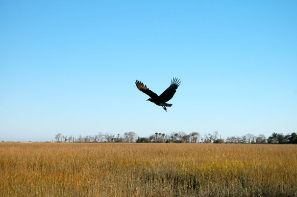 A vulture over the salt marsh leading to the beach