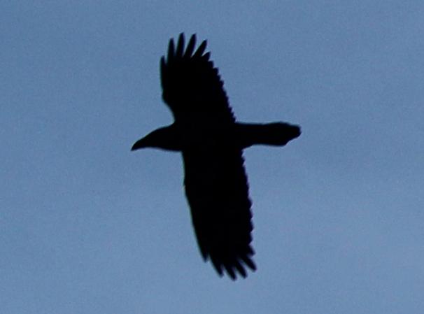 Corvus_corax_silhouette
