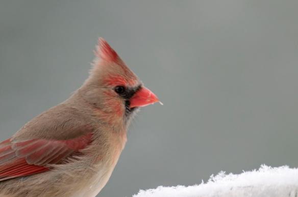 northern-cardinal-female-10-1-_1126