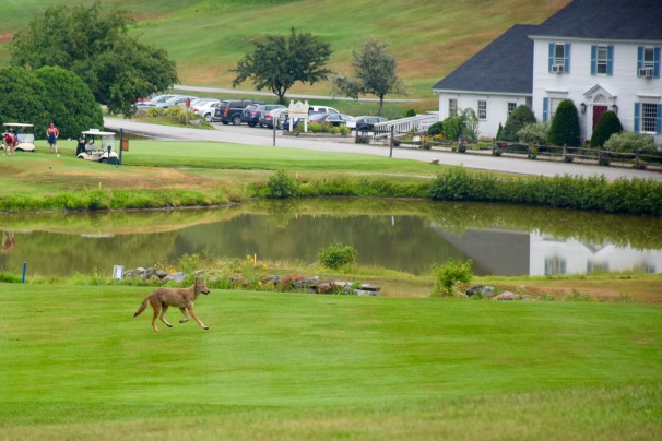 Coyote on a golf course